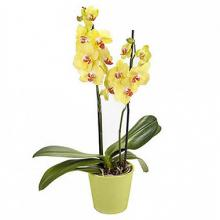 Sunny Elegance: Yellow Orchid