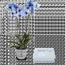 Orquídea azul y álbum