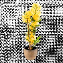 Dendrobium Nobile Jaune
