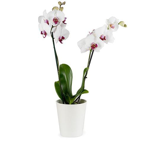 Toque Clásico: Orquídea blanca