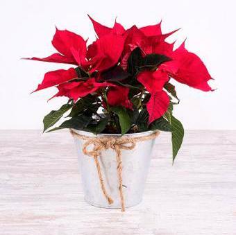 Planta de Navidad: Poinsettia