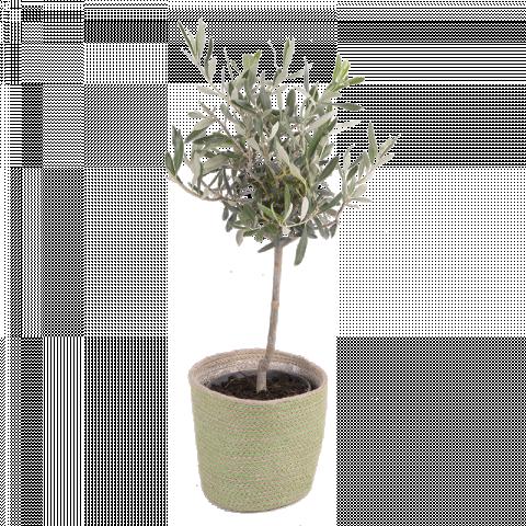 Mini Olivo